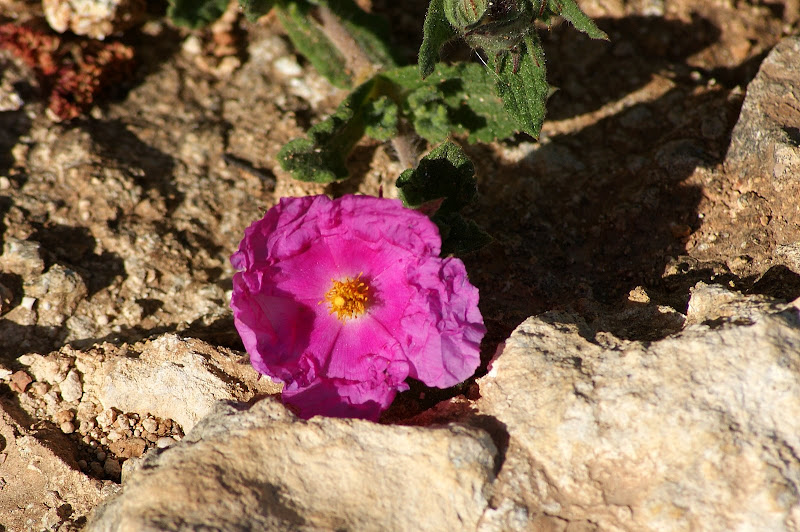 Esteva vermelha... flores do Algarve
