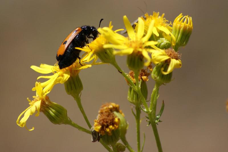 a flor amarela e o insecto no alentejo