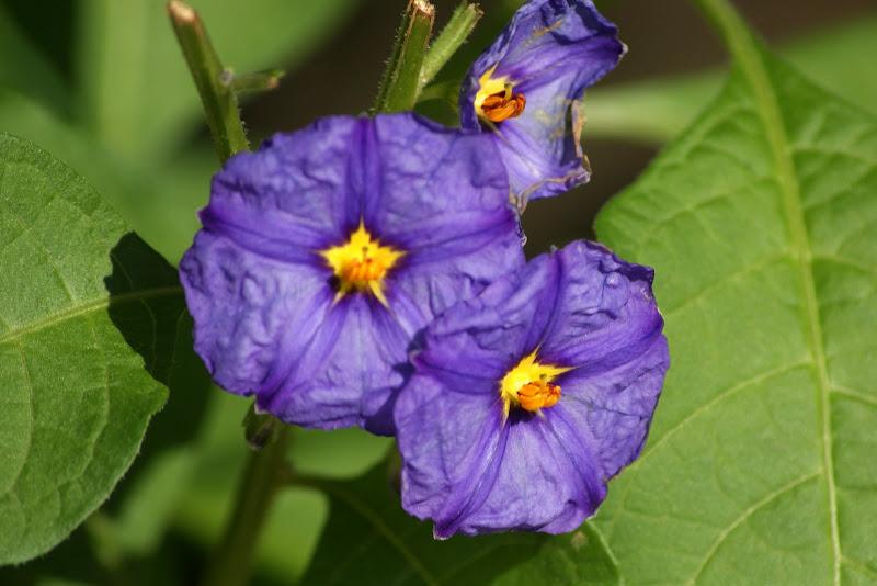 Lilás, flores