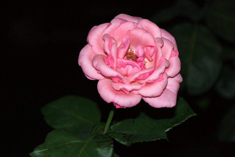 Rosas à noite