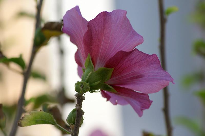 Flor de Malvaisco