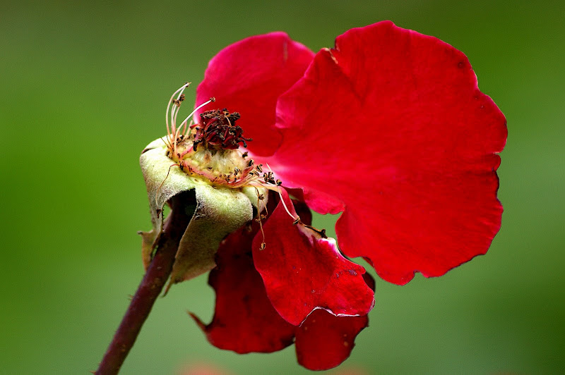 Uma rosa...o que resta da vida