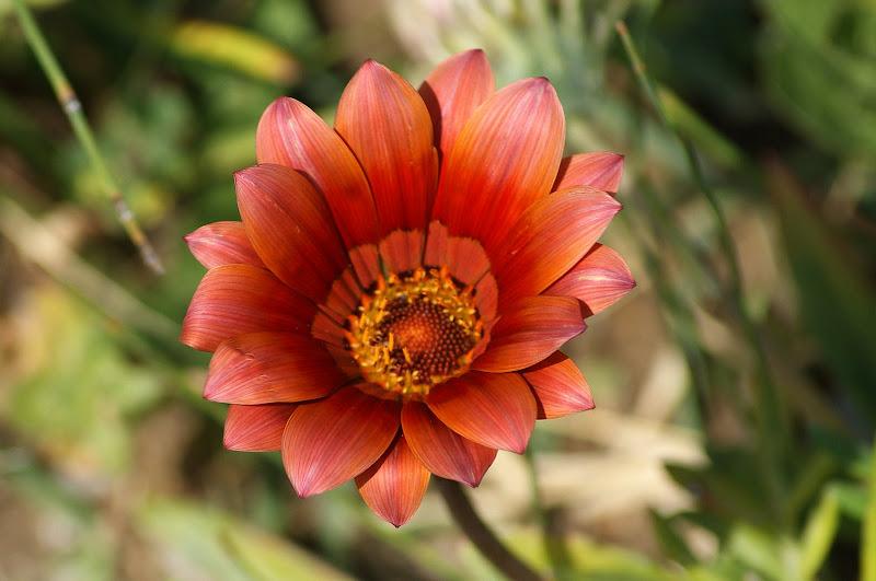 Laranja acastanhado, flor