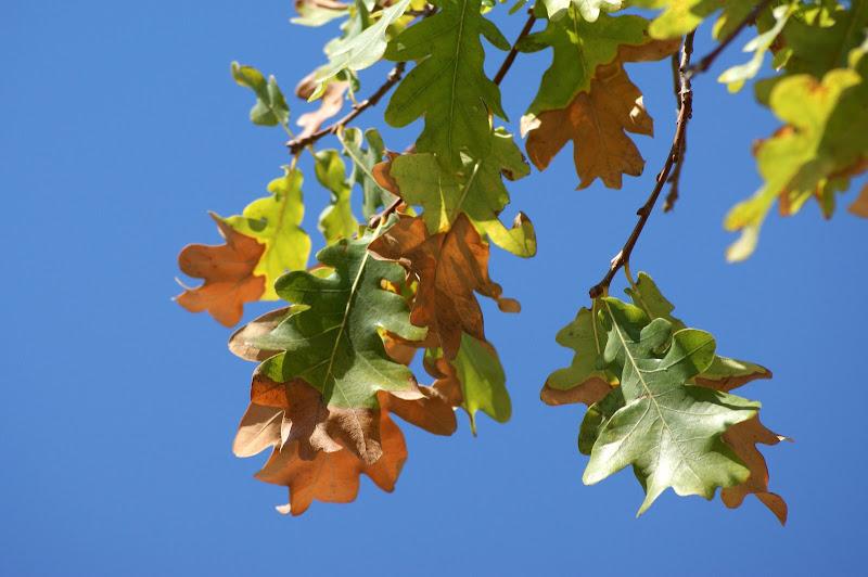Inicio de Outono em Setúbal, folhas de carvalho