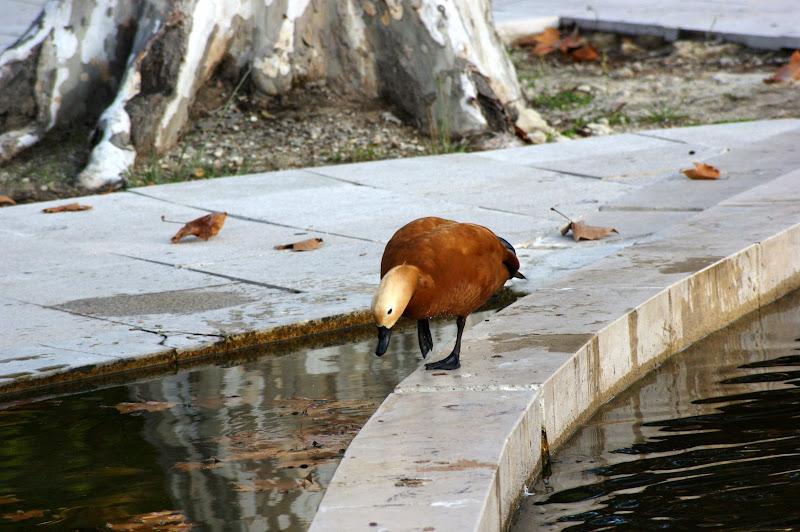 O pato cor de laranja