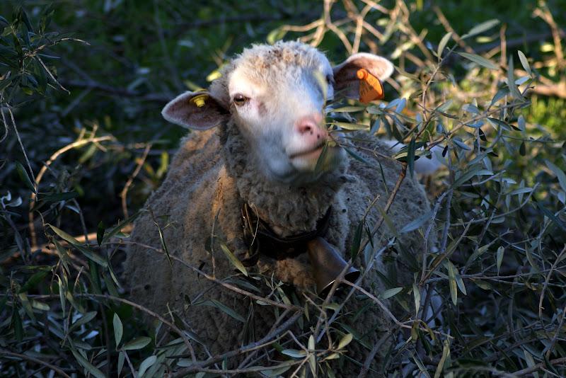 Ovelhas na arrábida