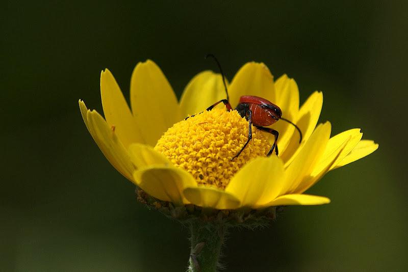 O Escaravelho no malmequer