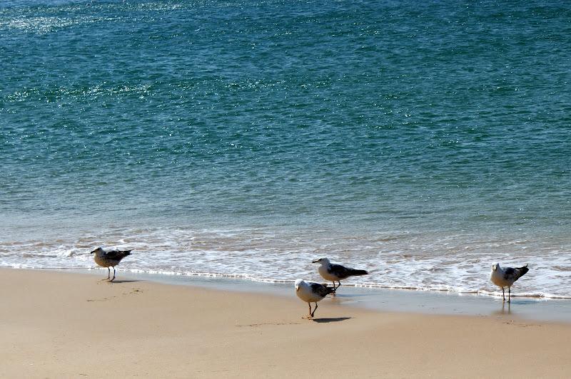 Gaivotas na praia de Salema