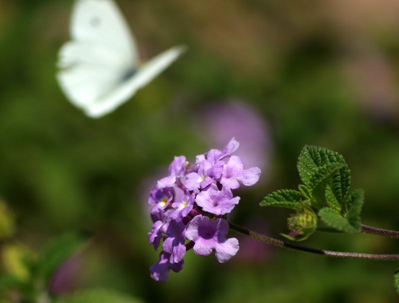 Borboleta na flor lilás