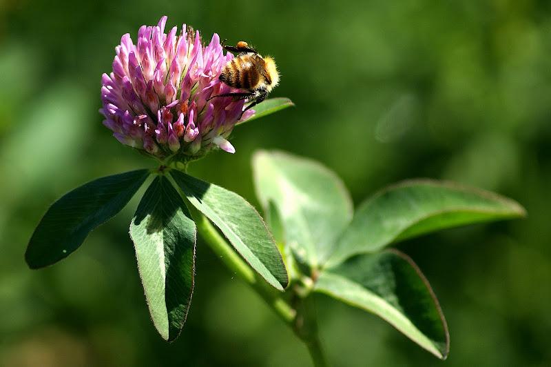 Abelha na flor de Teevo Branco