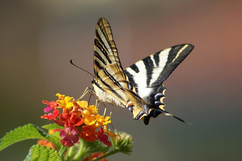 Borboleta Zebra Iphiclides feisthamelii
