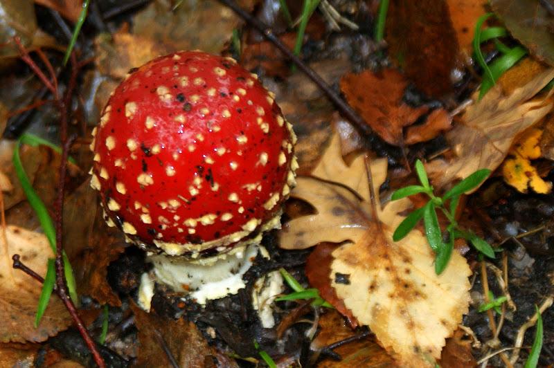 Cogumelo venenoso