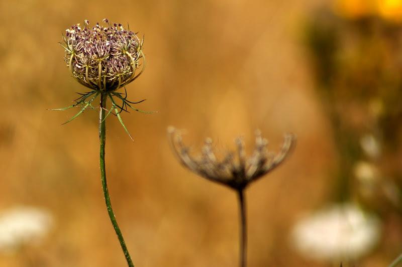 Recordando o verão, flores do campo