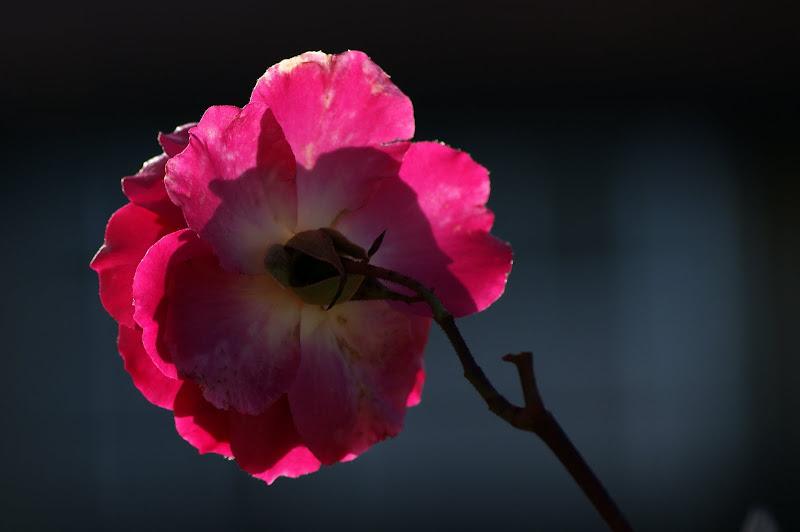 A ultima rosa