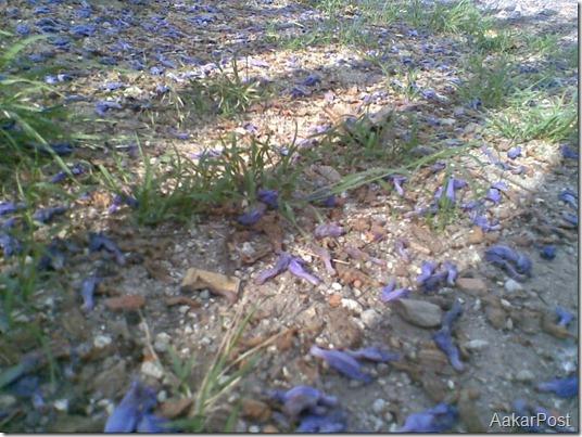 शिरिष को फूल (Shirish Ko Phool) , Blue Mimosa
