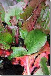 schoenlappersplant
