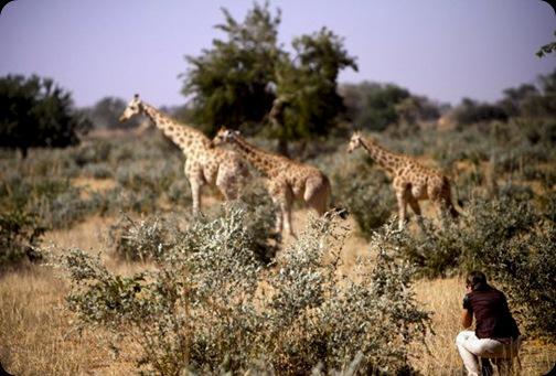 Giraffes05_13
