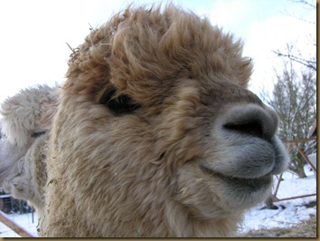 Ambersun Alpaca male in Germany