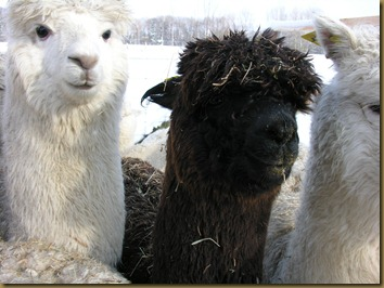 Three of the alpaca girls we brought with us