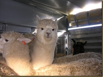 Beautiful alpacas!