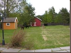 Alpakkaene inn i hagen 006