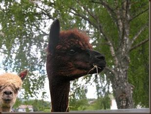 Alpakkaen Wayra var spesielt nysgjerrig på alt som foregikk!