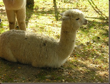 alpacas day one 085