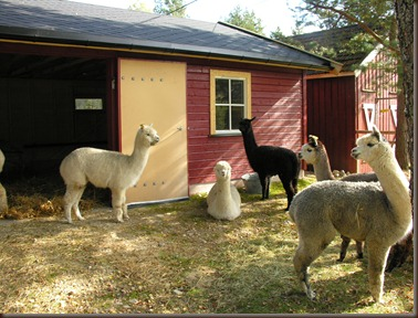 alpacas day one 094
