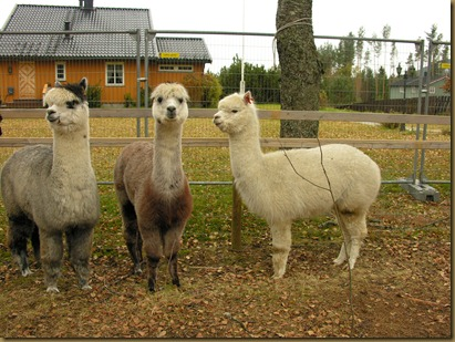 Alpakkahoppene Misty, Sugar Plum and Juanita