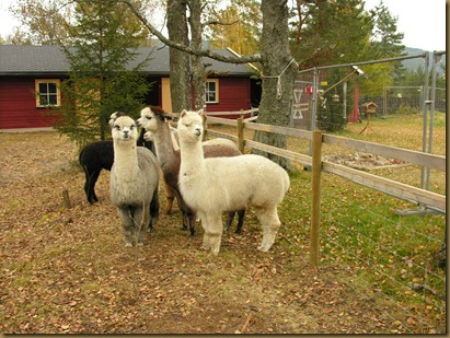 Alpakkahoppene Oprah, Misty, Sugar Plum, Rose and Juanita