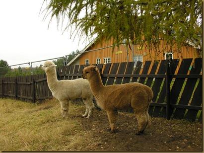 Alpaca Sire/alpakkahingstene Corazon and Auzengate's Pride