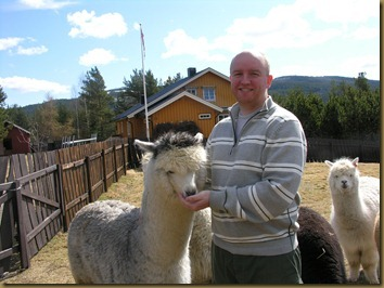Knapper Alpakkas Rolf having a nice session with the alpaca girls