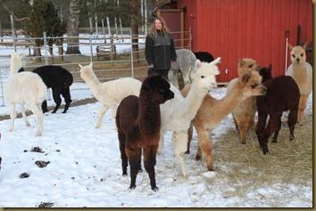 Knapper Alpakkas jentegjeng med criaer
