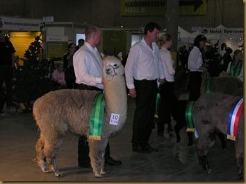 Rolf med Viella på den første norske alpakkautstillingen