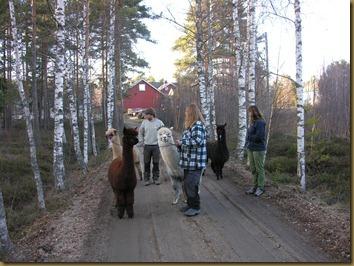 Eileen og Sven Erik er med oss på en vandring med alpakkaer