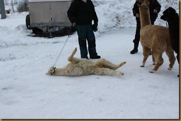 Alpakka: Prince Braveheart tar en koserull