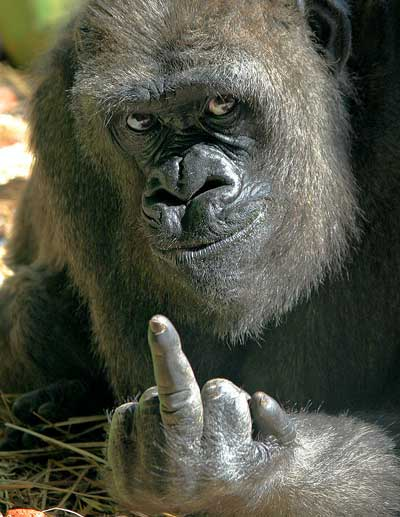 gorilla_middle_finger.jpg