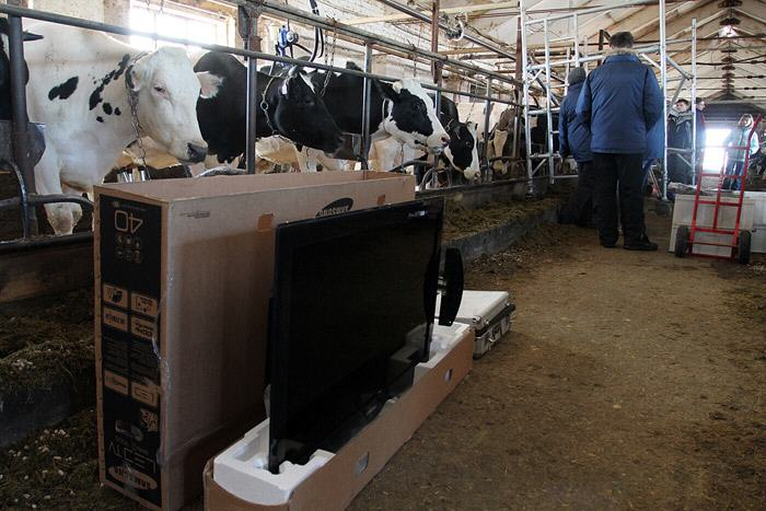 Weird experiment: Showing green fields to Cows on TVs to make them happy!!!