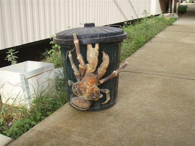 what a Coconut Crab!