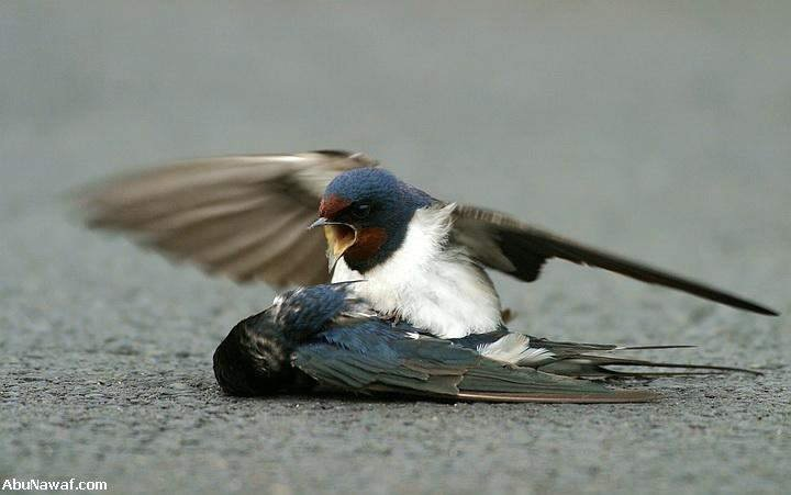 Love of Bird Swallow