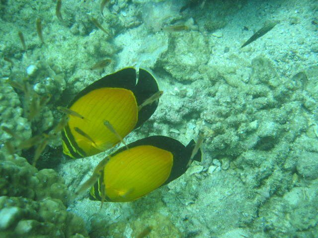 Scuba Diving/Snorkeling under the Red Sea: coral and marine fish