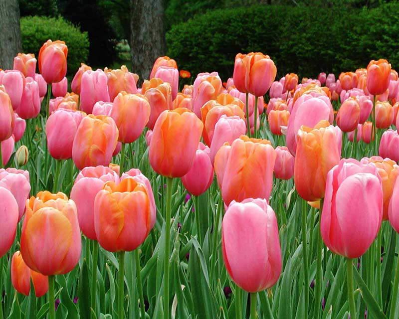TuLiPs 4U: Tulips in Red, Yellow, Orange and Pink
