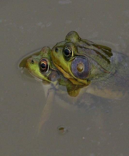 When Frogs FALL IN LOVE!!!