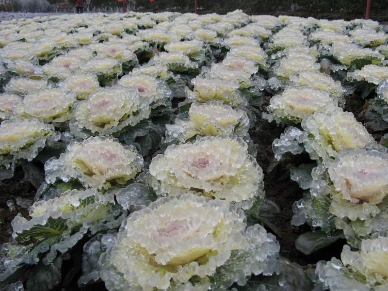 Ice rain in South China... Ice in the shape of leaves, plants, flowers and trees... Beautiful!
