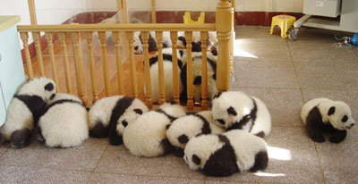 Pandas huddle together after an earthquake