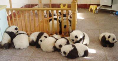 Pandas huddle together after an earthquake