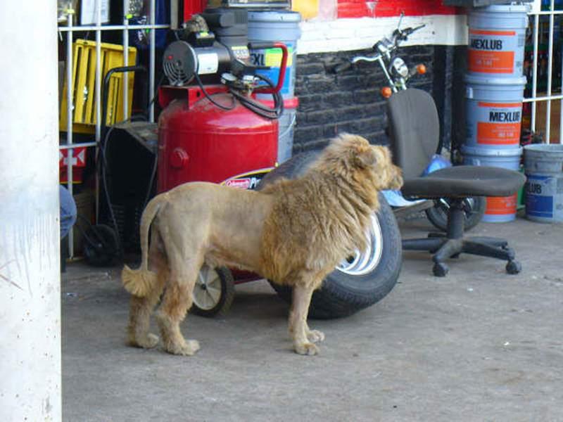 Escaped Lion in Kuwait!!