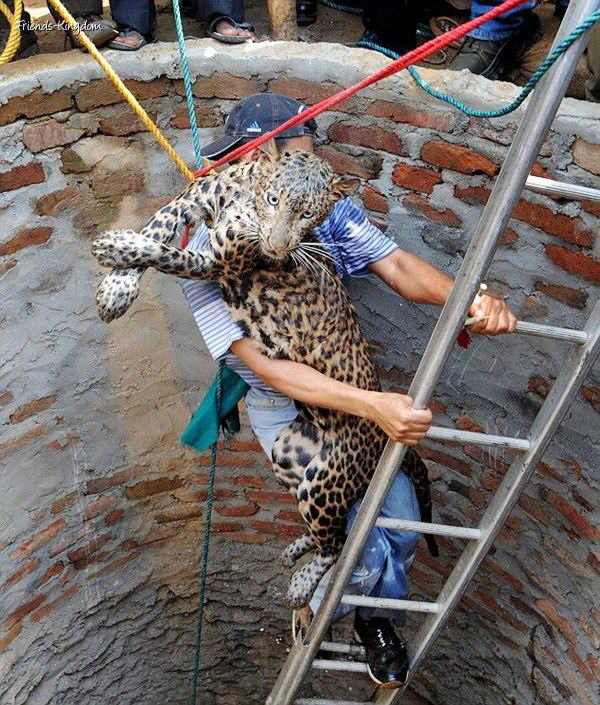 How do you bring out a leopard fallen in a well?