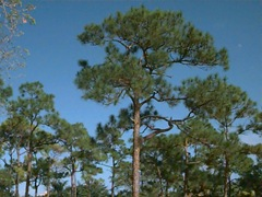 slash pine1