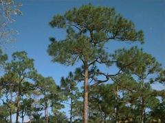 slash pine1